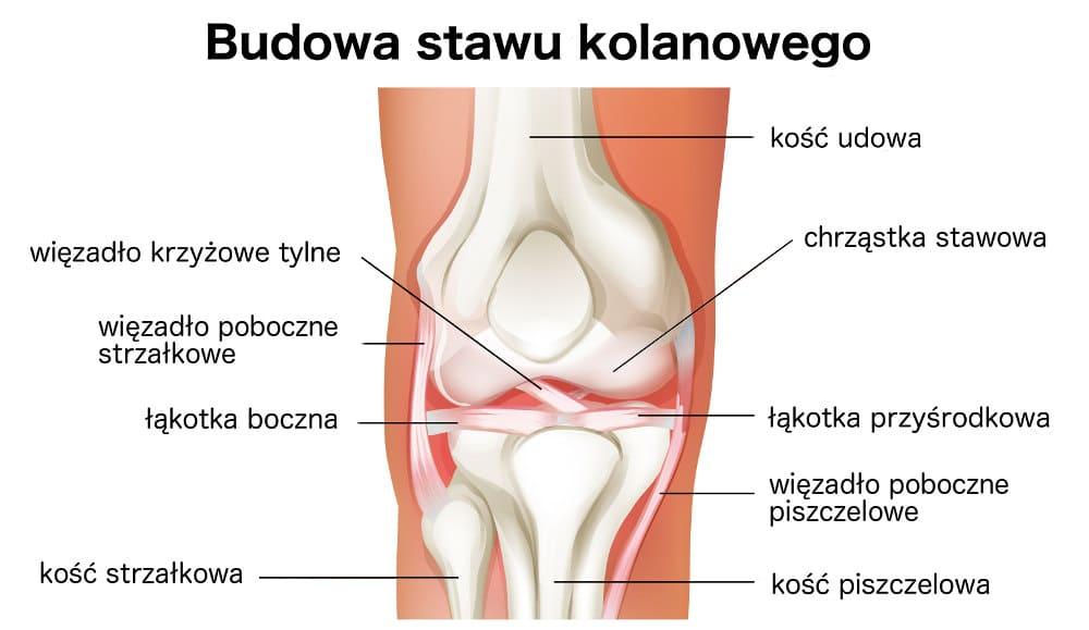 Budowa stawu kolanowego - więzadła krzyżowe, łąkotki, kości piszczelowa i udowa